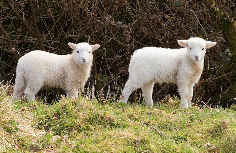 Lamb of God showing two lambs